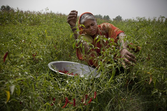 Amina harvesting chillies as part of Oxfam's chilli growing programme in Bangladesh